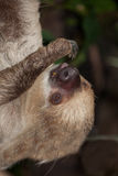 Sloth Stock Photo