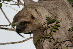 Sloth Royalty Free Stock Images