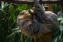 Sloth Stock Photos