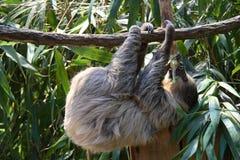 Sloth Royalty Free Stock Image
