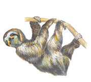 Sloth. The slow and sad Sloth Stock Images