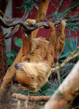 Sloth. A delightful adult sloth on a tree Stock Images