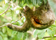 Sloth Royalty Free Stock Photos