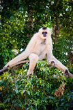 Sloth. White sloth in a tree Royalty Free Stock Image