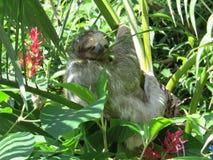 sloth Fotografía de archivo