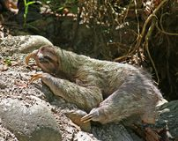 Sloth. A sloth moving on over rocky terrain Stock Photos