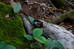 sloth Photographie stock libre de droits
