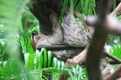 sloth lizenzfreies stockfoto