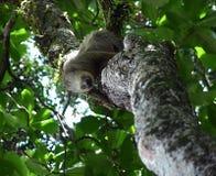 sloth Fotografía de archivo libre de regalías