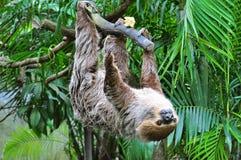 sloth Fotografia Stock Libera da Diritti