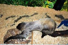 sloth imagen de archivo libre de regalías