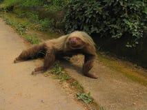 sloth royaltyfri foto
