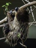 sloth Lizenzfreie Stockfotografie