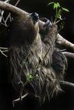 sloth Fotografia de Stock Royalty Free