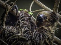 sloth immagini stock
