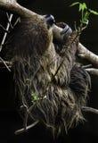 sloth Lizenzfreies Stockbild