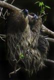 sloth Stockbilder