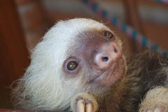 sloth Photo stock