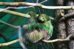 Sloth animal sleeping on a tree trunk. Green background Royalty Free Stock Images