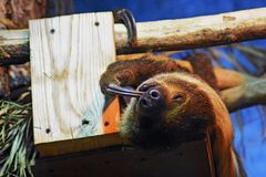 Sloth animal sleeping on a tree trunk