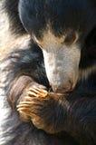 Sloth Bear Royalty Free Stock Photography
