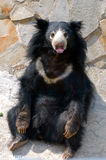 Sloth Bear. The Sloth Bear (Melursus ursinus Stock Photography