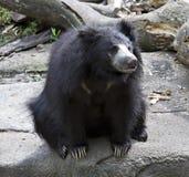 Sloth Bear Stock Photo