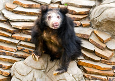 Sloth Bear Stock Photography