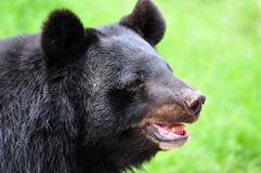 Sloth bear. Standing in rest mood Stock Photo
