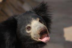 Sloth bear stock image