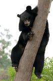 Sloth bear. Resting on tree trunk Stock Image