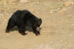 Sloth Bear Stock Photography