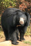 Sloth bear Stock Photos