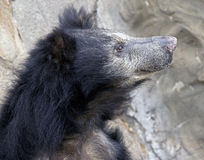 Sloth bear 3 Royalty Free Stock Image