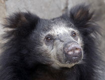 Sloth bear 4 Royalty Free Stock Photography