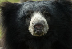 Sloth bear Royalty Free Stock Image