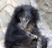 Sloth bear 5 Royalty Free Stock Photography