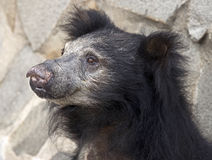 Sloth bear 6 Stock Image