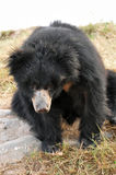 Sloth bear Stock Images
