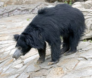 Sloth bear 8 Royalty Free Stock Photography