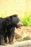 Sloth Bear. Stock Photos