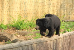 Sloth Bear. Stock Photo
