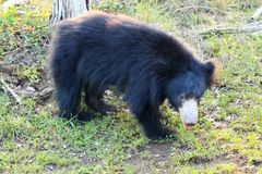 Sloth bear, also known as stickney or labiated bear Stock Image