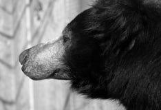 Sloth bear in b&w. Washington National Zoo, DC royalty free stock images