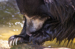 Sloth bear close-up Stock Photography