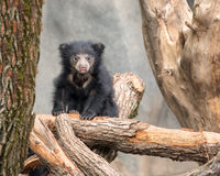 Sloth bear cub Royalty Free Stock Images