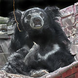 Sloth bear 11 Stock Images