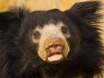 Sloth bear Royalty Free Stock Image