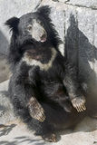Sloth bear Royalty Free Stock Images