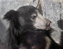 Sloth bear 10 Royalty Free Stock Images